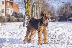 Cane Airedale Terrier su una neve Fotografia Stock