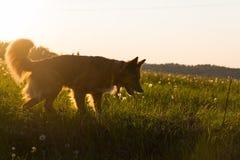 Cane alla sera Fotografia Stock