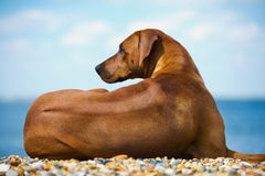 Cane alla spiaggia Fotografia Stock Libera da Diritti