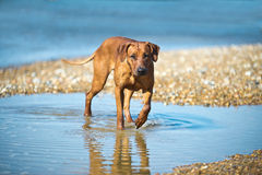 Cane alla spiaggia Fotografie Stock Libere da Diritti