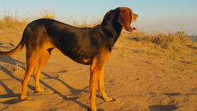 Cane alla spiaggia che ritiene felice video d archivio