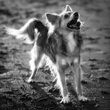 Cane allegro che cerca in bianco e nero fotografia stock