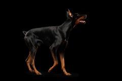 Cane allegro del pinscher del doberman che sta sulla vista laterale nera e isolata Fotografia Stock