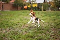 Cane allegro divertente del cane da lepre Immagine Stock