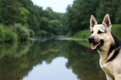Cane Alsatian al fiume Immagini Stock