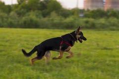 Cane alsaziano del cucciolo sulla passeggiata Fotografia Stock Libera da Diritti