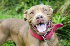 Cane americano del pitbull terrier del cioccolato con il collare rosso Immagini Stock Libere da Diritti