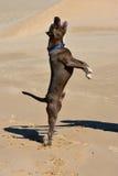 Cane americano dello spaccone Fotografia Stock