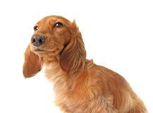 Cane ammalato fotografia stock libera da diritti