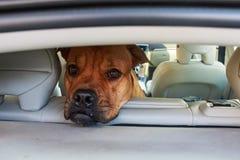 Cane annoiato del bullmastiff in automobile Fotografie Stock Libere da Diritti