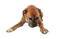 Cane anziano del pugile che guarda giù Immagini Stock