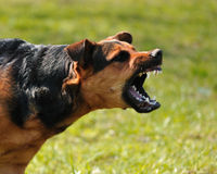 Cane arrabbiato Fotografia Stock