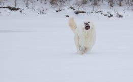 Cane arrabbiato fotografia stock libera da diritti