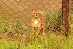 Cane arrabbiato dietro la maglia Immagini Stock Libere da Diritti