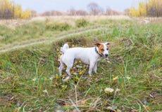 Cane arrabbiato Il piccolo cane sembra aggressivo e pericoloso fotografia stock libera da diritti