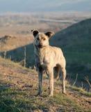 Cane asiatico della fauna selvatica Immagini Stock