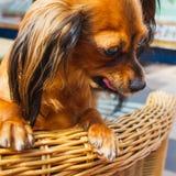 Cane assetato Toy Terrier dai capelli lunghi russo A Russ dai capelli lunghi Fotografia Stock Libera da Diritti