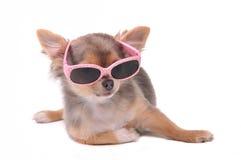Cane astuto. Cucciolo della chihuahua con gli occhiali da sole Fotografie Stock Libere da Diritti