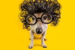 Cane astuto del nerd in parrucca e vetri neri ricci esame dello studente di studio Di nuovo all'animale domestico della scuola Fo immagine stock libera da diritti