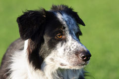 Cane attento sano di border collie. Immagine Stock