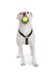 Cane attivo con pallina da tennis in bocca Fotografia Stock Libera da Diritti