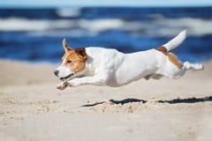 Cane attivo del terrier di russell della presa su una spiaggia Immagini Stock