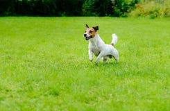 Cane attivo su funzionamento e sul gioco del fondo dell'erba verde Fotografia Stock