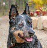 Cane australiano del bestiame Fotografie Stock