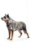 Cane australiano del bestiame Fotografia Stock