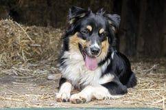 Cane australiano di Cattle del pastore immagini stock