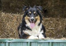 Cane australiano di Cattle del pastore fotografia stock libera da diritti