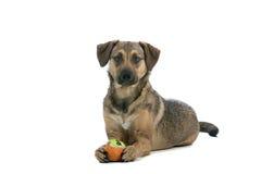 Cane austriaco del Pinscher fotografia stock libera da diritti