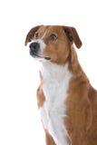 Cane austriaco del Pinscher fotografia stock