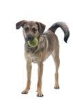 Cane austriaco del Pinscher immagini stock libere da diritti