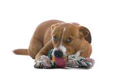 Cane austriaco del Pinscher con il giocattolo fotografie stock libere da diritti