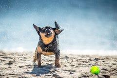 Cane bagnato che scuote, espressione divertente Fotografia Stock