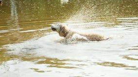Cane bagnato del documentalista che scuote acqua nello stagno sporco alla natura archivi video