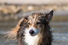 Cane bagnato sulla spiaggia Fotografia Stock