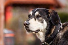 Cane bastardo del malamute d'Alasca Immagini Stock