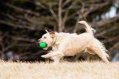 Cane bastardo del terrier di confine Fotografie Stock