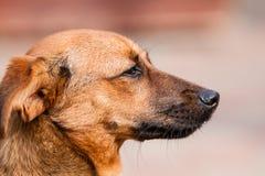 Cane bastardo fuori da Rhodesian Fotografia Stock Libera da Diritti