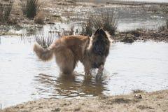 Cane belga di Tervuren del pastore, giocante nell'acqua Immagini Stock Libere da Diritti