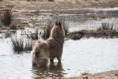 Cane belga di Tervuren del pastore, stante nell'acqua Fotografia Stock