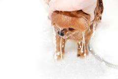 Cane ben curato governare Governando di un cane pomeranian Pomeranian divertente nel bagno Cane che prende una doccia Cane sul ba Fotografie Stock