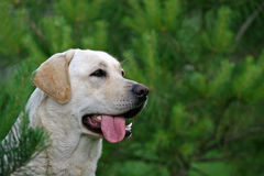 Cane bianco Immagine Stock Libera da Diritti