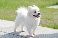 Cane bianco Fotografie Stock Libere da Diritti
