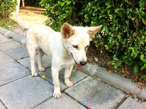 Cane bianco Immagine Stock