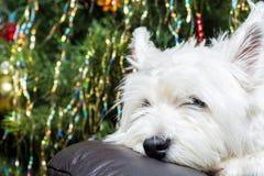 Cane bianco adorabile di West Highland Terrier che riposa la sua testa sulla poltrona con l'albero di Natale nel fondo Fotografie Stock Libere da Diritti