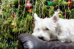 Cane bianco adorabile di West Highland Terrier che riposa la sua testa sulla poltrona con l'albero di Natale nel fondo Fotografia Stock Libera da Diritti