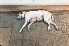 Cane bianco che dorme felicemente sul pavimento di pietra di marmo thailand fotografia stock
